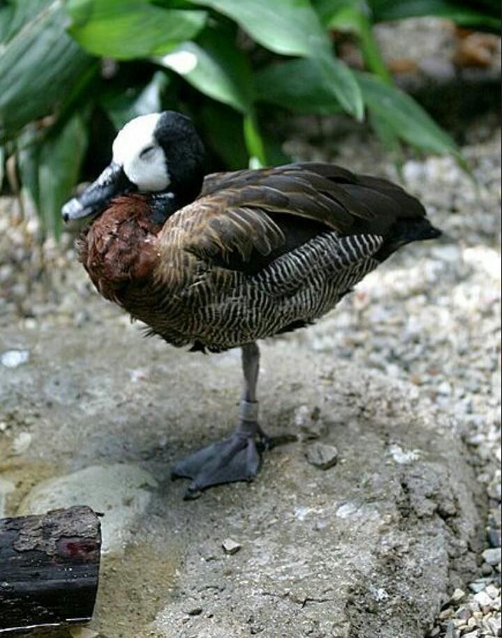 الطيور تستخدم دماغها كدماغين